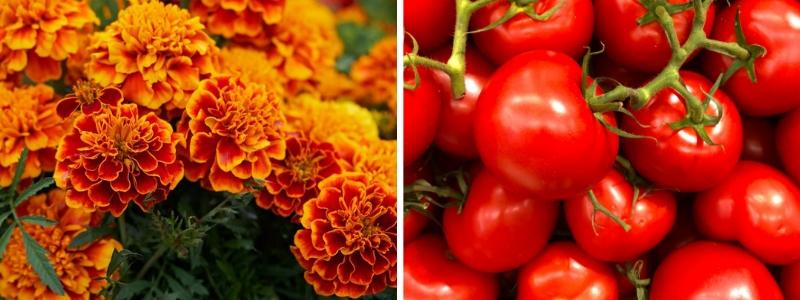 Marigold and tomato