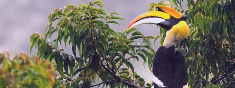 great indian hornbill